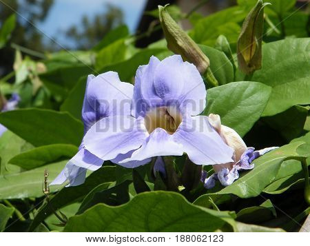 Flower of Thunbergia Grandiflora in Neve Monosson near Or Yehuda Israel