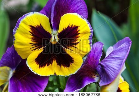 Yellow purple pansy flowers (Viola tricolor). Close up.