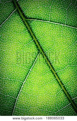 Green leaves texture use as abstract background