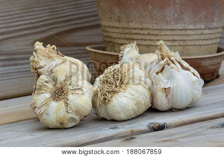Healthy eating. Macro shot of several garlic bulbs.