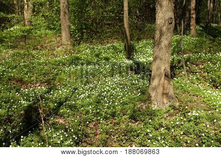 White wood anemone flowers Spring primroses in forest