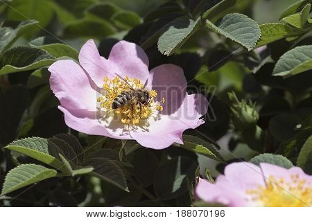 The bee collects nectar on a flower of a dogrose on a bright sunny day