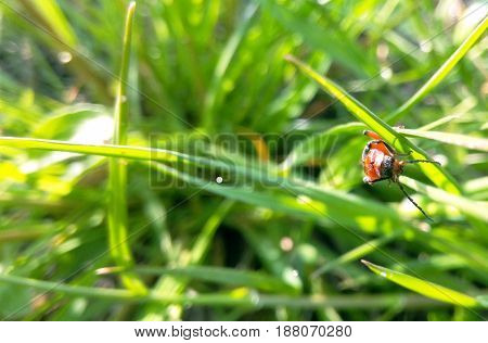 Beetle red whiskered blurred background of green grass close-up macro photography