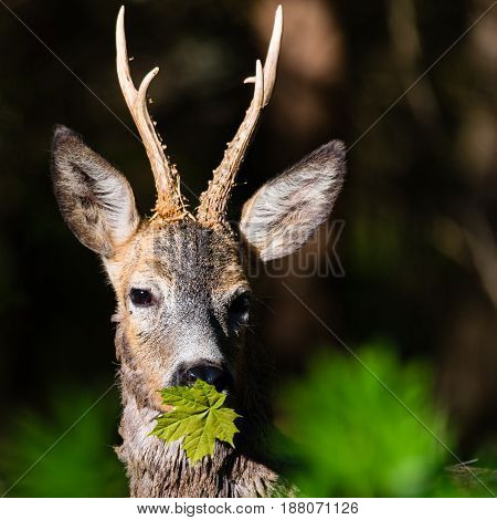 Close up roe deer in a green forest