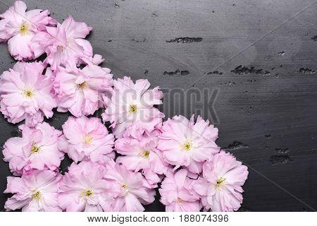 Sakura Flowers Or Japanese Cherry Blossom In Tender Pink Colour