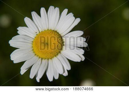 White Daisy Flower Isolated in Arkansas Garden