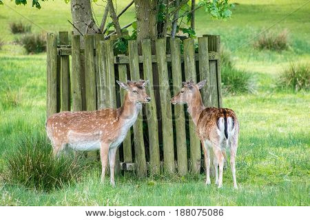 Two fallow deer standing near a tree