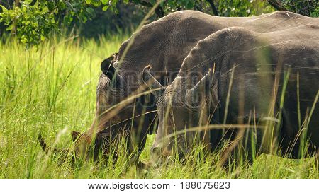 Closeup of two white rhino heads in Uganda