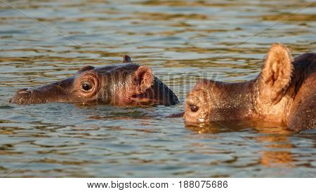 Closeup of Hippo mom and baby head in water stick out of river wet with tick on ear