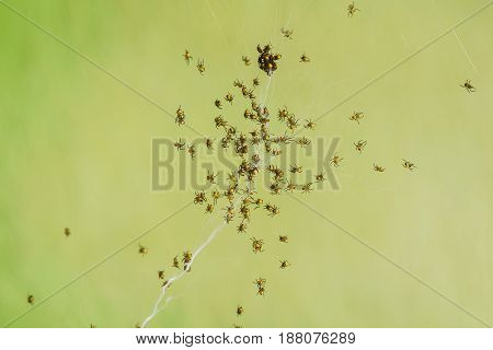 A lot of small young spiders (lat. Araneae Aranei) on the web. Big family. Green background