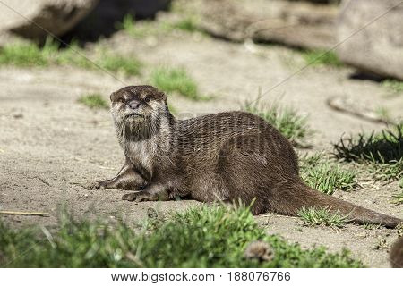 Otter portrait. Small aquatic mammal on dry land. With wet fur fresh from the water.