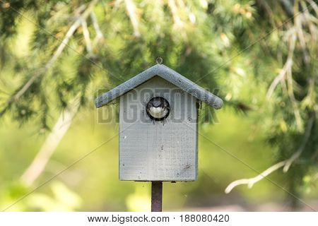 tree swallow and birdhouse at vancouver bc canada