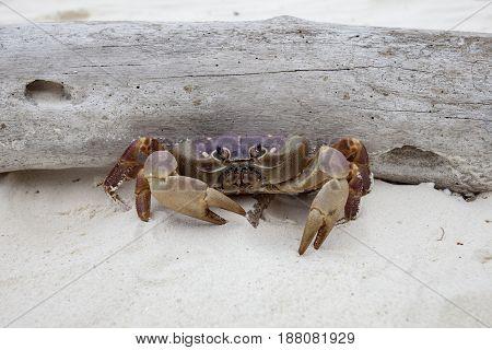 poo kai crab in koh ta chai island similan marine national park in andaman sea southern of thailand