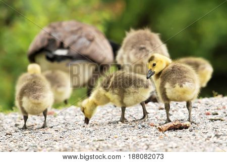Gosling follow their parents across a path while one of the goslings looks back to let me know he sees me still