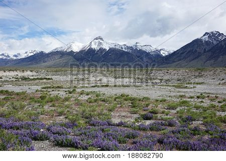 Lupines blooming in the Lost River Valley, near Mackay, Idaho with Mt. McCaleb in the background.