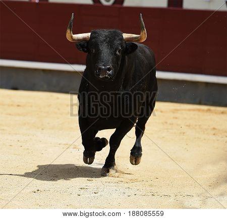 bull in spanish bullring with big horns