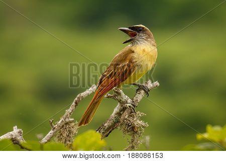 The Golden-crowned Flycatcher at the coastline of Ecuador, near Puerto Lopez