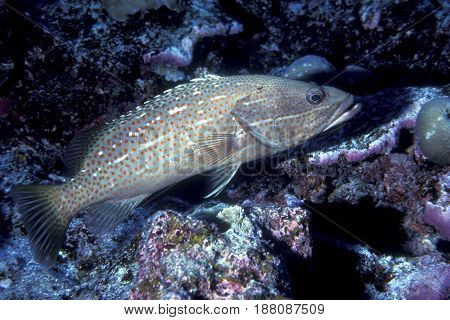 A Slender Grouper, (Anyperodon leucogrammicus) swims along a coral reef in the Kwajalein Atoll in the Pacific