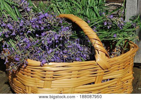 Fresh lavender in basket recently harvest from the garden
