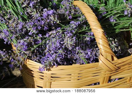 Fresh lavender in a basket just harvested from the garden