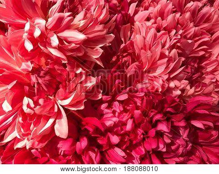 Pattern of pink Dendranthemum grandifflora background and texture