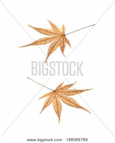 Japanese maple leaf isolated over the white background, set of two different foreshortenings