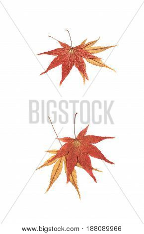 Japanese red and yellow maple leaves isolated over the white background, set of two different foreshortenings