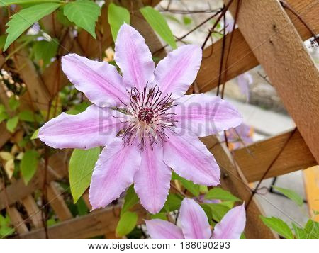 pink clematis blossom on vine with wooden lattice fence