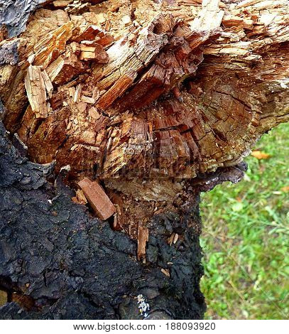 Tree trunk devoured by termites. Termites attack