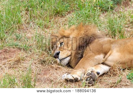Portrait of one male lion laying sideways in the grass eyes open looking off in the distance. The lion (Panthera leo) is one of the big cats in the genus Panthera and a member of the family Felidae.