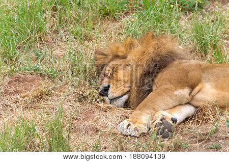 Portrait of one male lion laying sideways in the grass sleeping. The lion (Panthera leo) is one of the big cats in the genus Panthera and a member of the family Felidae.