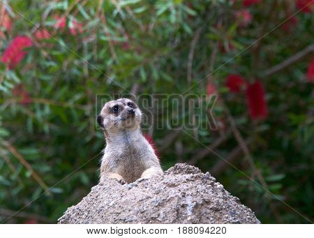 One meerkat peeking out of a hole in a rocky hill looking out for predators. The meerkat or suricate (Suricata suricatta) is a small carnivoran in the mongoose family