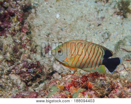 Blacktail Anglefish ( Centropyge Eibli)