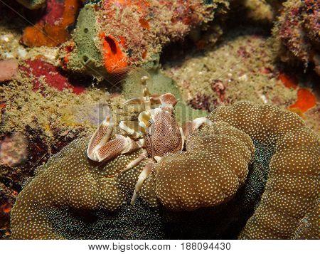 Anemone Crab (neopetrolisthes Ohshimai)