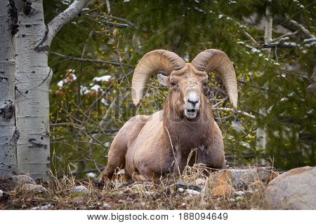 Mature Bighorn sheep in the Rocky Mountains