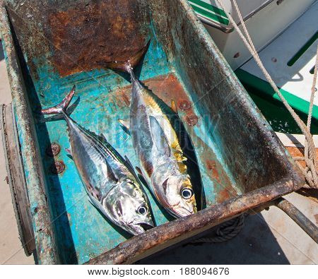 Yellowfin Ahi Tuna and Bonita Mackerel on their way to the fillet table in San Jose Del Cabo Baja Mexico