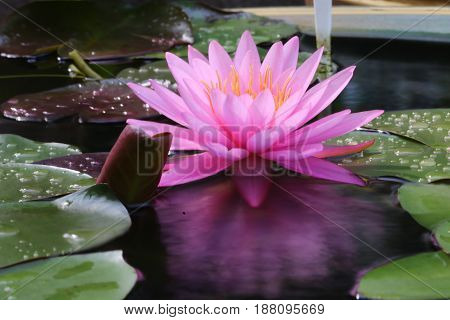 Reflection of pink Waterlily or Lotus flower.