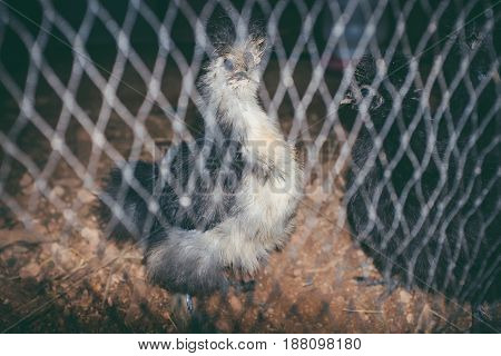 Closeup. Flock of Silkie hens in the cage for sell on the farm. Domestic animal businesses for food. Selective focus.