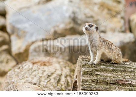 An curious looking meerkat looking for danger