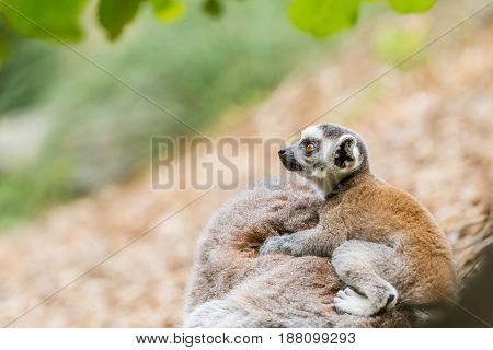 A baby Ring tailed lemur on the back of mother