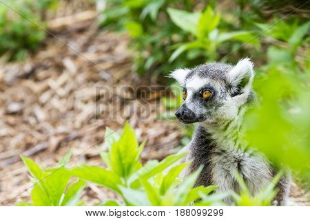 In the trees these are beautiful Ring tailed lemur