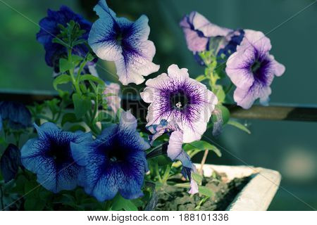 Petunia planted in a pot in the garden. Potted flowers of petunia