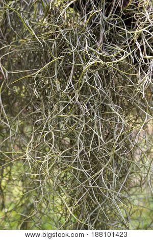 close up tillandsia usneoides plant in nature garden