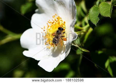 spring (summer) rose flower and bee. Bee on a flower. Bee on a flower of a white flower