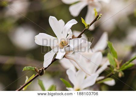 White magnolia in a spring garden closeup