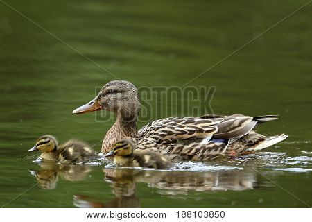 A Duck family with duck chicks or ducklings