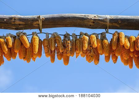 Bunches of dried corn hanging from a rope against the blue sky. Nepal . Close up