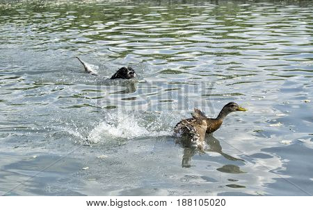 Hunting dog chasing a german duck swimming in water
