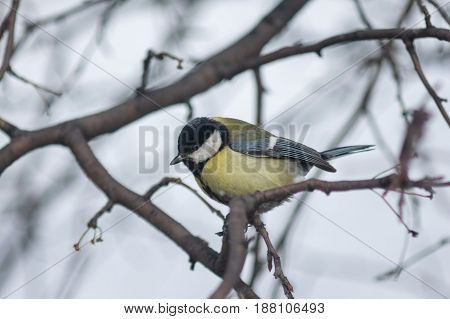 The Titmouse Sits On A Tree Branch