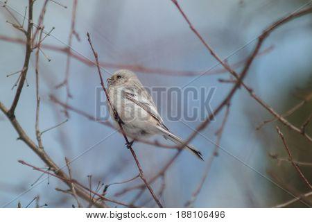 Uragus Bullfinch Sits On A Branch Of A Bush